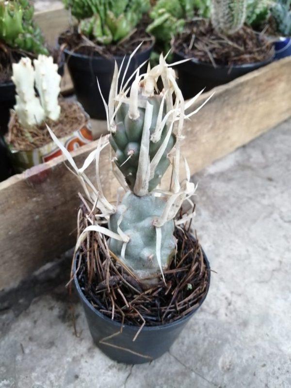 Cactus espina de papel
