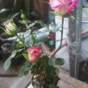 Rosales minis